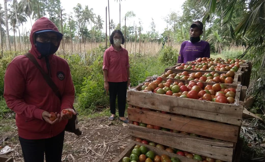 Kelompok Tani Mandiri Kab. Minahasa, Panen Tomat Hingga 24 Ton