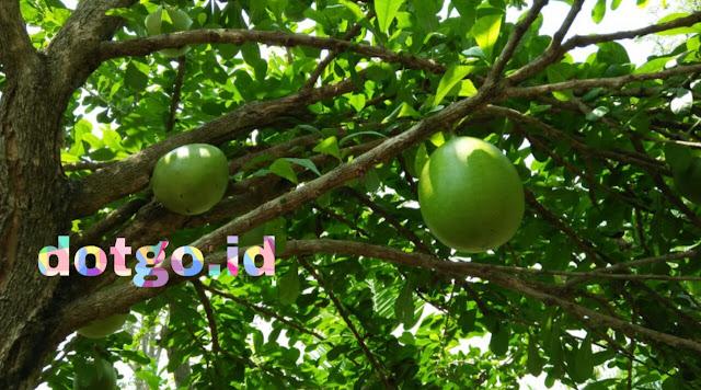 Mengenal manfaat pohon buah berenuk untuk kesehatan