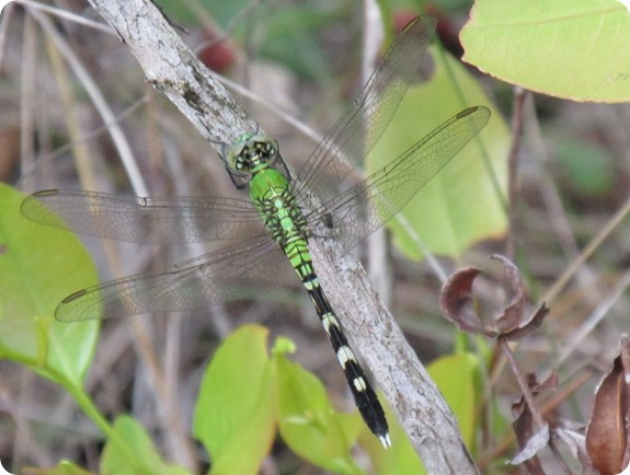 Ais Trail - Eastern Pondhawk (Erythemis simplicicollis) Dragonfly