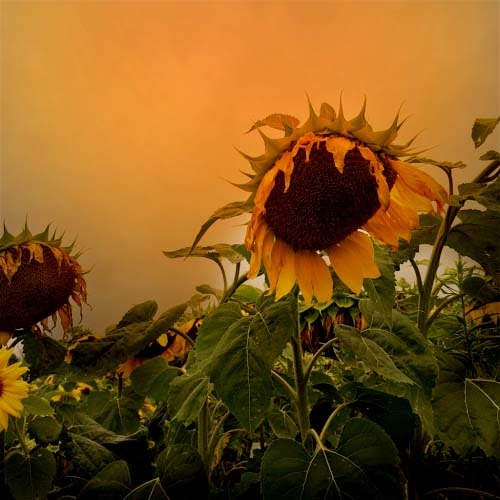 [sunflowers+in+the+morning%5B3%5D]