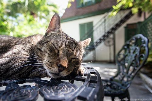 Sleeping Hemingway cat
