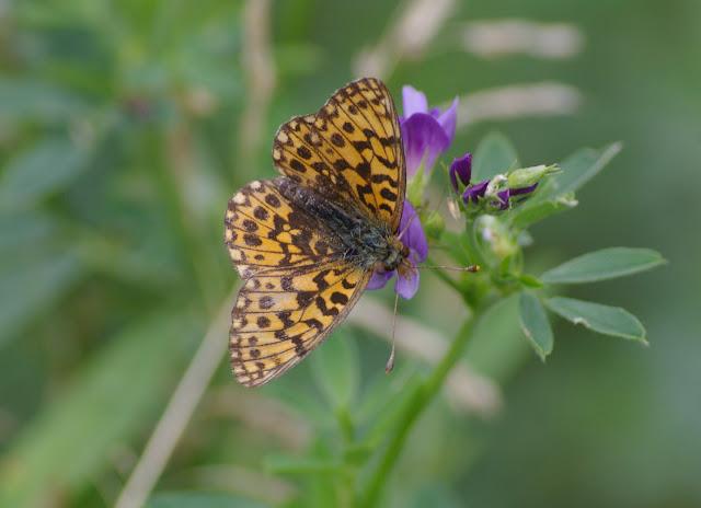 Clossiana dia L., 1767, femelle. Les Hautes-Lisières (Rouvres, 28), 20 juin 2011. Photo : J.-M. Gayman