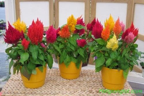 Hoa mào gà lửa