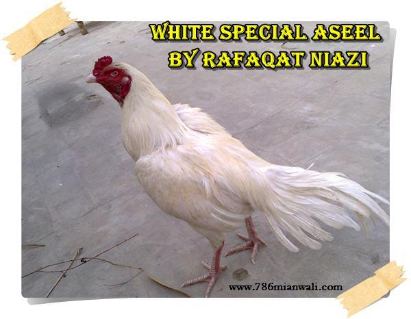 WHITE ASEEL BY RAFAQAT NIAZI