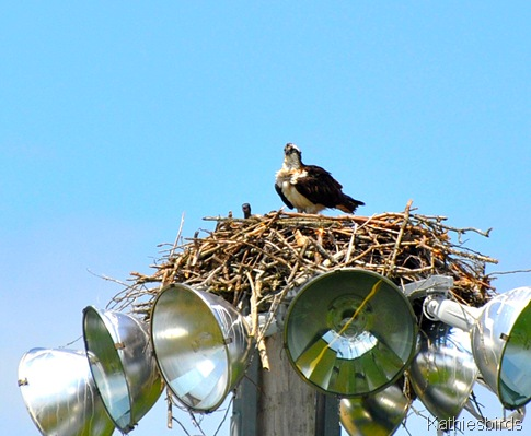 7. osprey on nest 6-12-15-kab