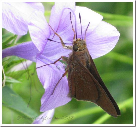 10-24-philippine-violet-skipper