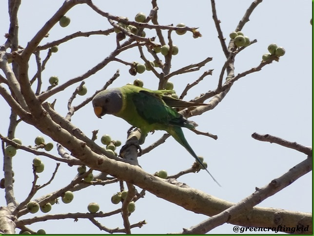 Malabar Parakeet3