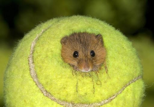 tennis-ball-mouse-home-5