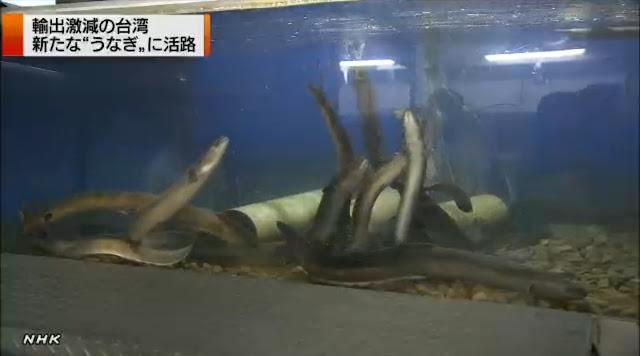 台湾、日本向けのオオウナギを養殖する技術の確立急ぐ