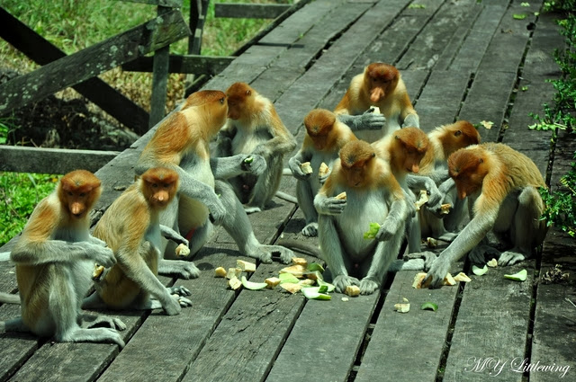 Labuk-Bay-Proboscis-Monkey-Sanctuary