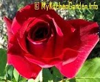 Rose Mr Lincoln From Propagated Plant