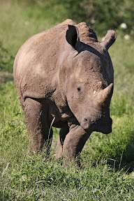 Baby Rhino, South Africa