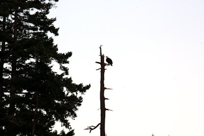 Eagle in the Gulf Islands in British Columbia Canada