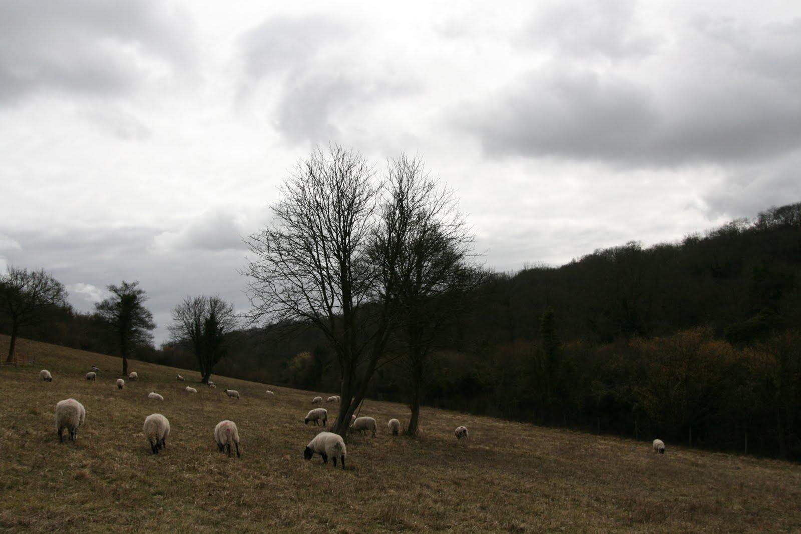 1003 007 Coulsdon, England Sheeps