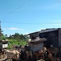 Balada Pemerah Susu Kambing Di Tengah Kota Banda Aceh