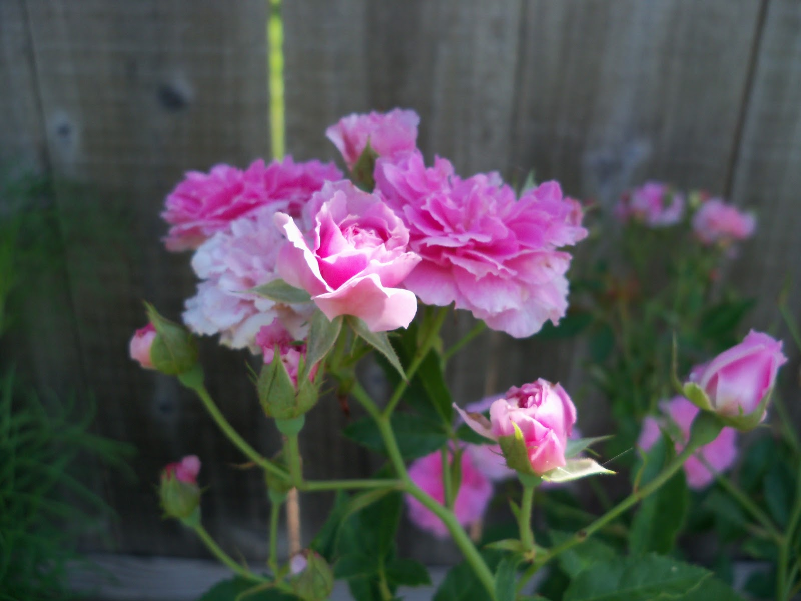 Gardening 2010, Part Two - 101_2615.JPG