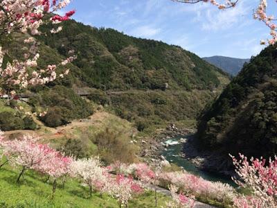 引地橋の花桃
