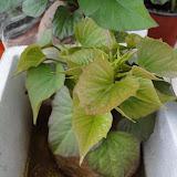 cultivo de meristemas para obtencion de batata libre de virus - 002.JPG