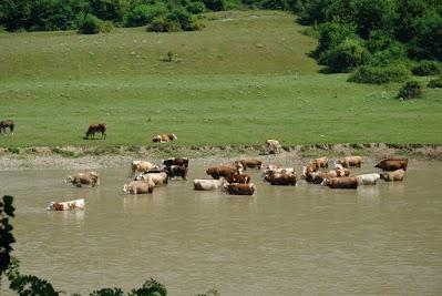 Kühe suchen Abkühlung im Somes