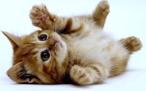 超級可愛寶貝貓- 最可愛的動態桌面寵物壁紙