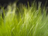Keynote Grass