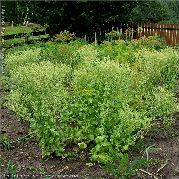 Lactuca sativa - Sałata siewna w okresie kwitnienia