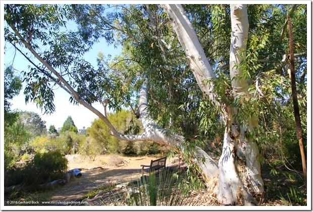 160813_UCSC_Arboretum_Eucalyptus-laeliae_003