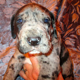 Available blue merle female @ 4 weeks