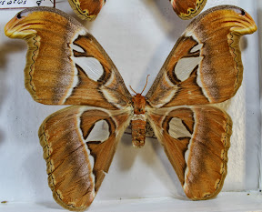 ATTACUS ATLAS (4).JPG
