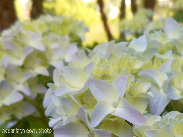 Baby Hydrangea Flower Photo By Aquariann