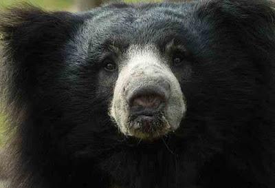 सुस्त भालू (Sloth Bear) तथ्य | Sloth Bear About In Hindi