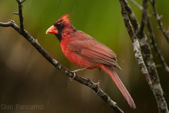 Photo: Cardinal Rain