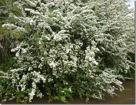 7 hawthorn blossom