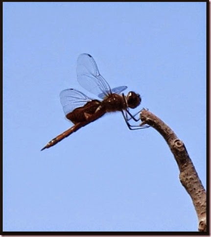 dragonfly2IMG_3617