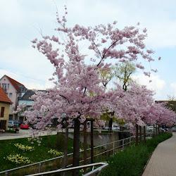 2016-04-10 Kirschblüten und GD