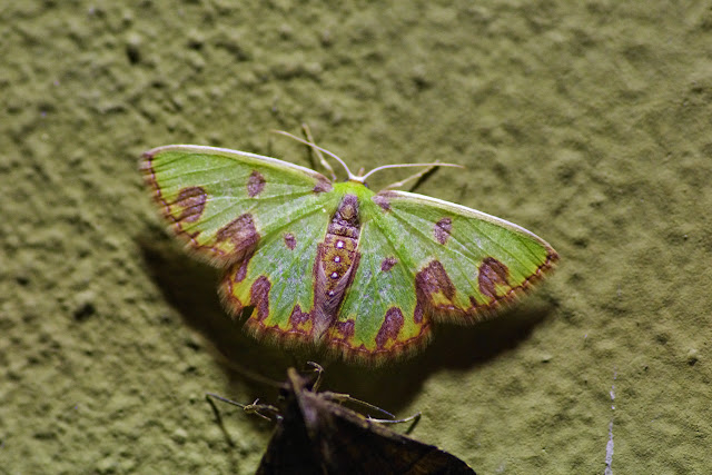 Synchlora gerularia (Hübner, 1823). Santa Fe (Veraguas, Panamá), 18 octobre 2014. Photo : J.-M. Gayman