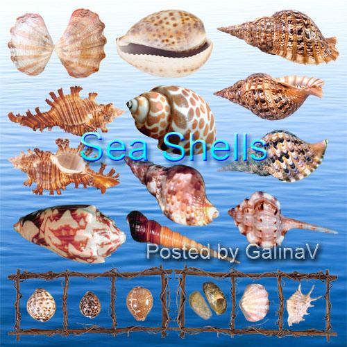 Морские ракушки клипарт на прозрачном фоне PNG