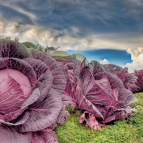 Purple Cabbage. by SweeMing YOUNG - Food & Drink Fruits & Vegetables ( plant, farm, pink cabbage, nature, vegetable,  )