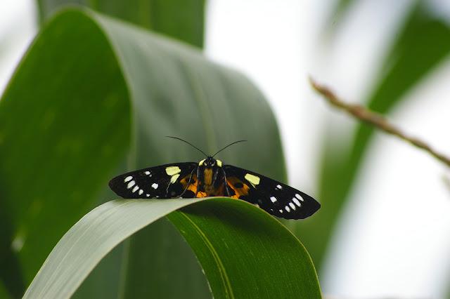 Noctuidae : Agaristinae : Episteme adulatrix KOLLAR, 1844. Shibao Shan (2100 m) au-dessus de Shaxi (Yunnan), 8 août 2010. Photo : J.-M. Gayman