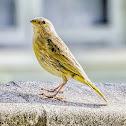 Canário-da-Terra / Saffron Finch