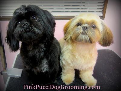 Chloe & Jasper Shih Tzu Grooming Examples