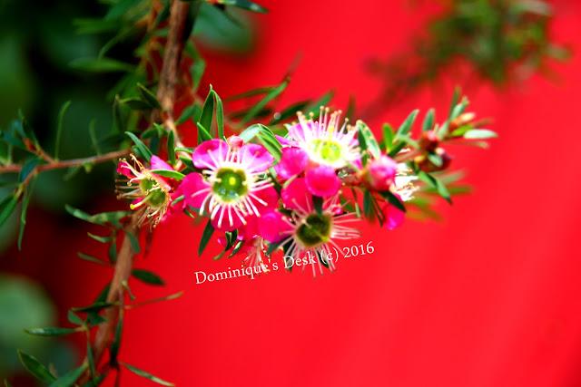 Dark Pink blooms