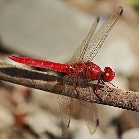 Red is I'am by Yoseph Ismail - Animals Insects & Spiders ( red, nature, fauna, dragonfly, bokeh, photography, animal,  )