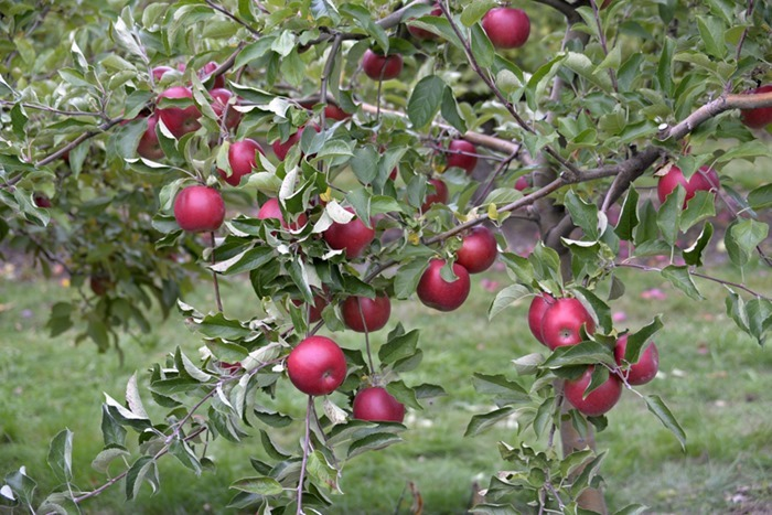 apple_picking_3