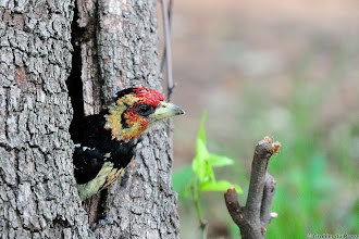 Photo: A Crested Barbet (Afrikaans: Kuifkophoutkapper), Marakele National Park, South Africa.