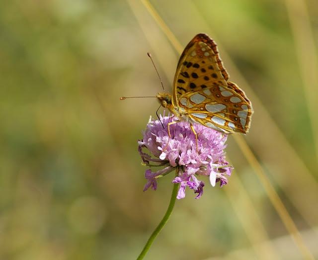 Issoria lathonia LINNAEUS, 1758. Maurin, 1920 m (Alpes-de-Haute-Provence), 13 août 2009. Photo : J.-M. Gayman