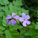 Bois de la Bergerette : géranium Herbe à Robert