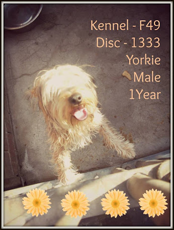 Rescue Yorkies in Joburg