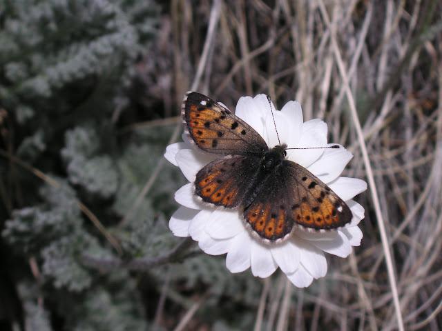 Polycaena tamerlana timur STAUDINGER, 1886. Kara Say (3500 m), 12 juillet 2006. Photo : J. Michel