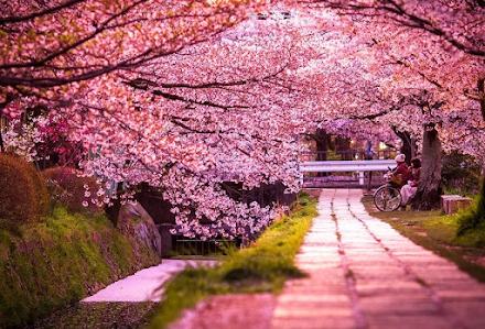 Οι κερασιές στην Ιαπωνία άνθισαν νωρίτερα από ποτέ, όπως το 812μ.Χ